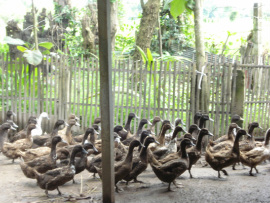 Photo of ducks in a pen