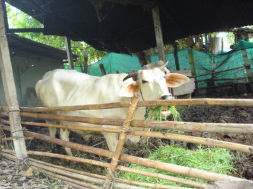 Photo of cow in a pen