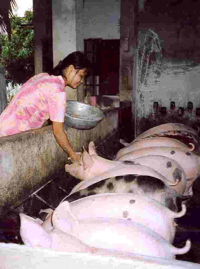 A girl places food for the pigs in the trough.