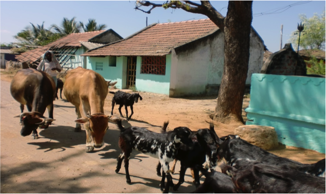 Rearing goats and cows