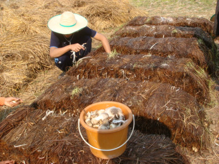 Youth reaches into straw to pull out mushrooms
