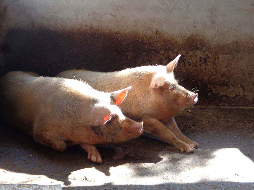 two pigs with heads raised