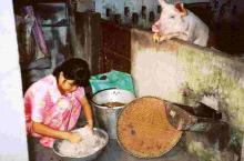 A girl feeds a pig in Vietnam